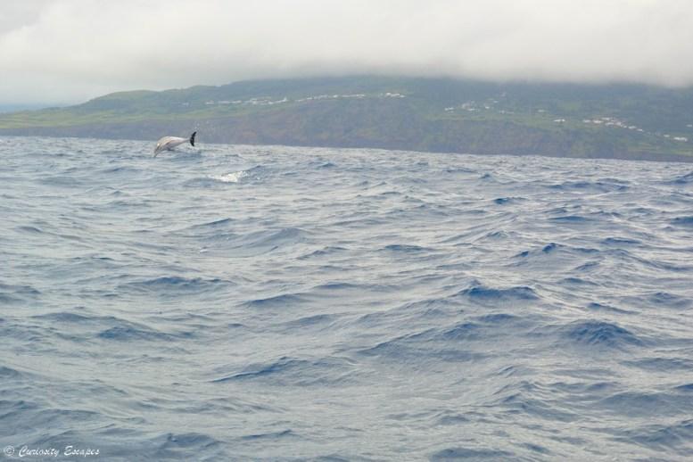 Dauphins tachetés de Pico, Açores