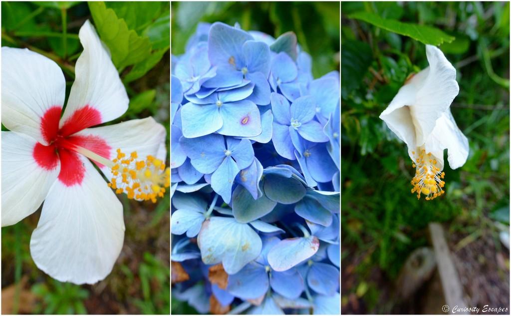 Fleurs sauvages de l'île de Flores