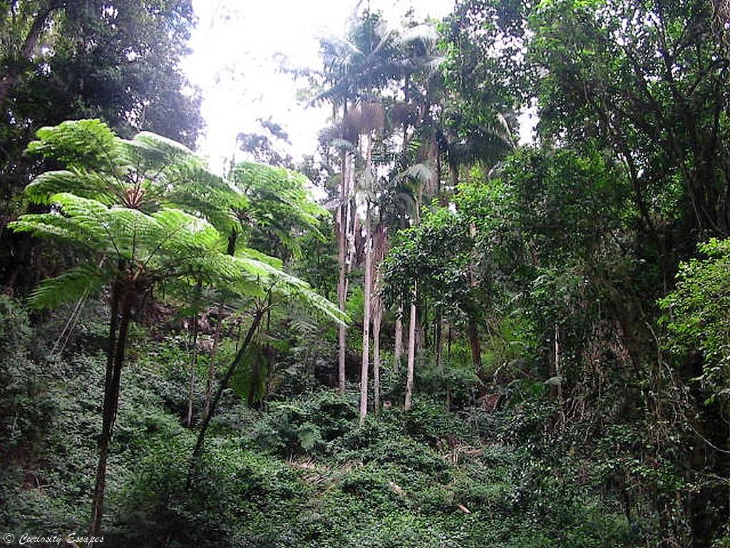 Rainsforest près de Casino en Australie