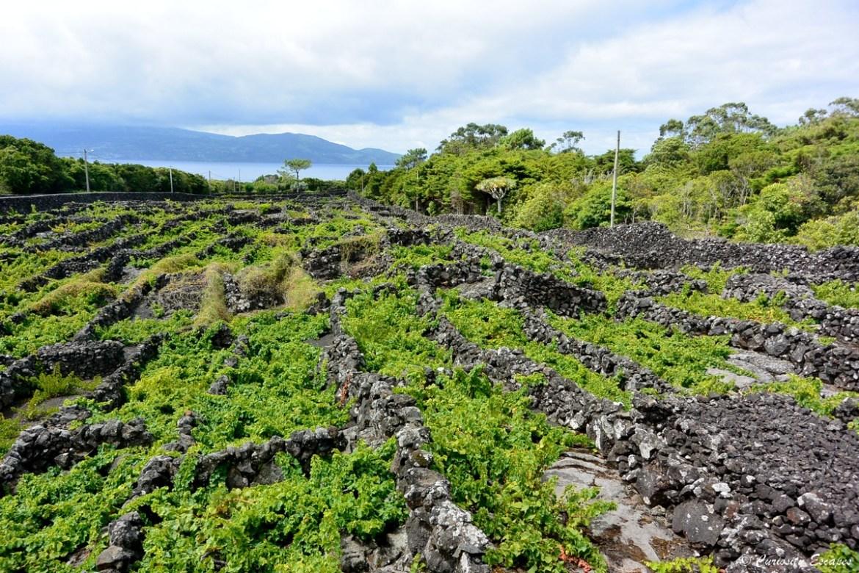 Currais: murets de roche volcanique dans les vignes de Pico