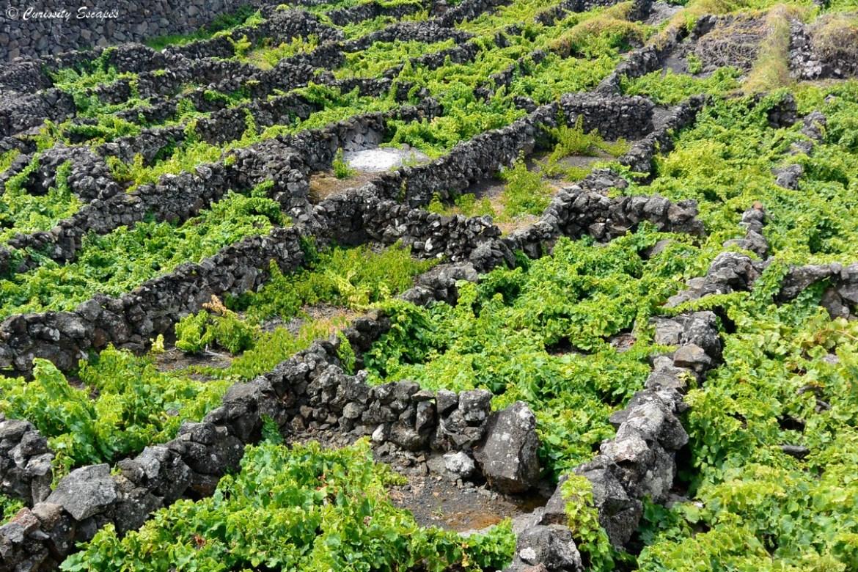 Vignes volcaniques de Pico, Açores