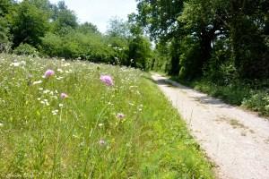 Fleurs sauvages en bord de sentier