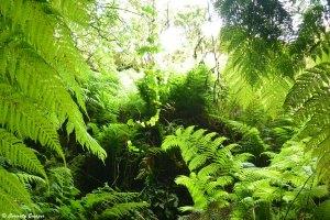 Forêt tropicale dans le tunnel de lave, Açores