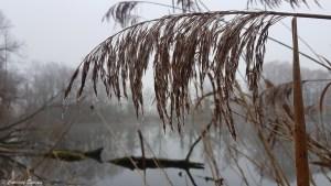 Roseau de l'étang de Boulieu