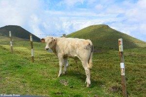 Le coeur de l'île de Pico avec ses vaches