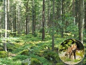 Réserve naturelle forestière dans le parc national d'Asnen, en Suède