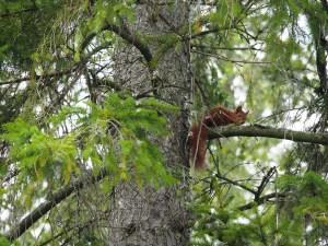 Ecureuil curieux au parc de Store Mosse