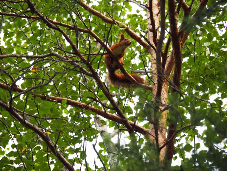 Ecureuil dans un arbre, Suède