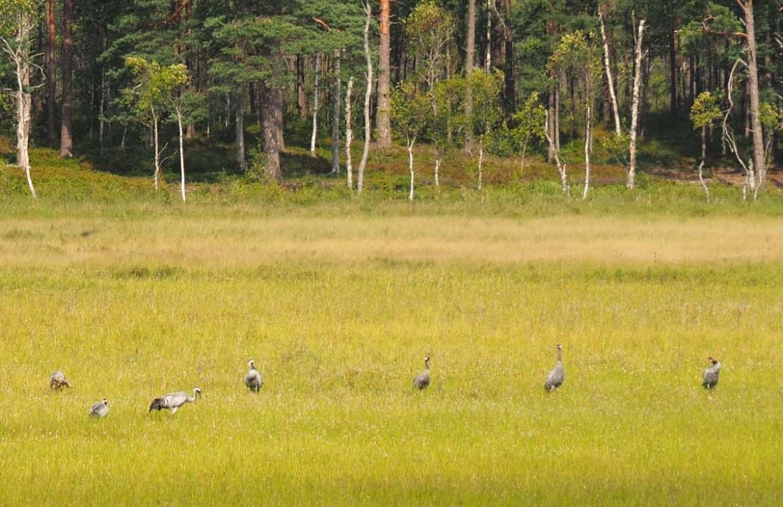 Grues cendrées du parc national de Store Mosse, Suède