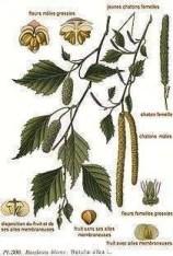 ricetta liquore di betulla