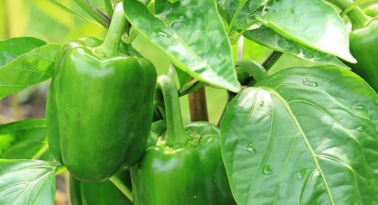 Salsa di pomodori e peperoni verdi ricetta