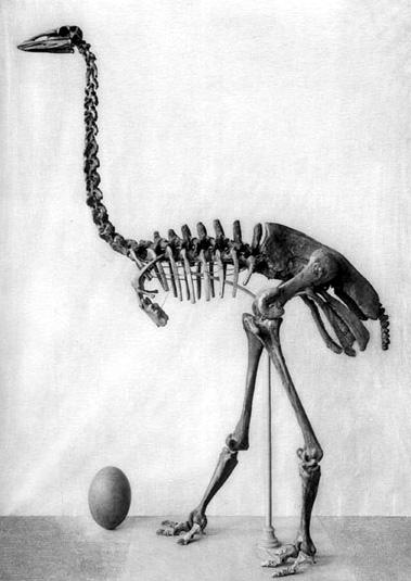 Passaro-elefante