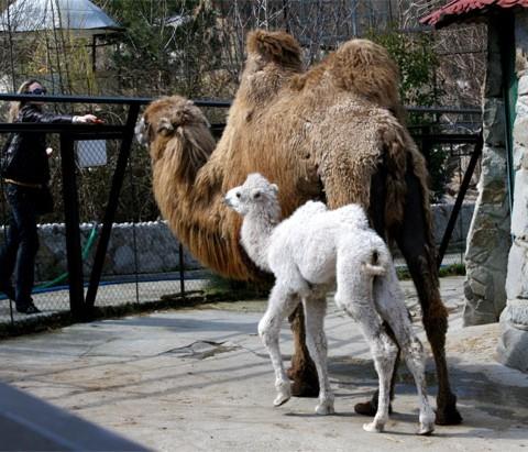 Camelo com um filhote albino na Ucrânia.