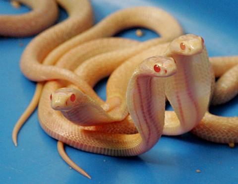 Estas três cobras albinas do Sri Lanka nasceram de uma ninhada de 20 ovos.