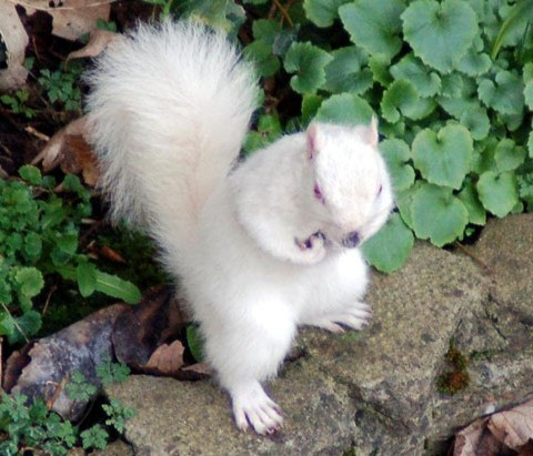 Um raro esquilo albino da Inglaterra procurando nozes.