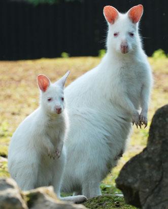 Esta foto de um wallaby (pequeno canguru) de pescoço vermelho e seu filhote foi feita na República Tcheca.