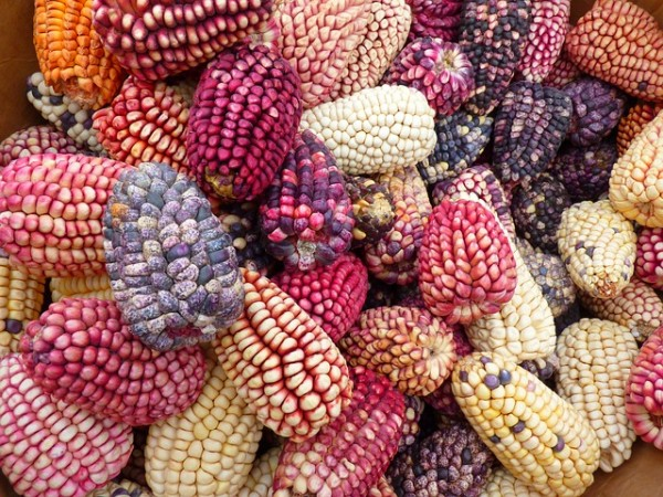 corn-43312_640-600x450[1]