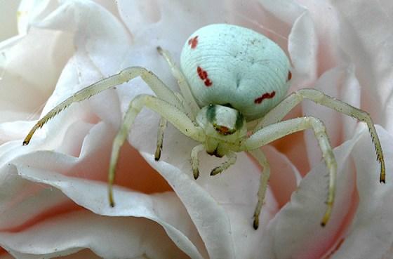 Aranha-caranguejo-das-flores[1]