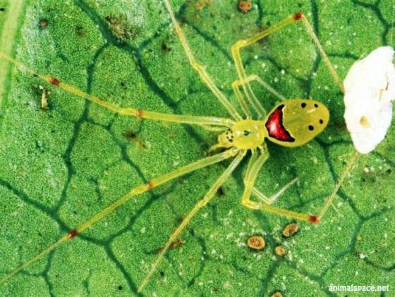 Aranha-da-cara-feliz[1]