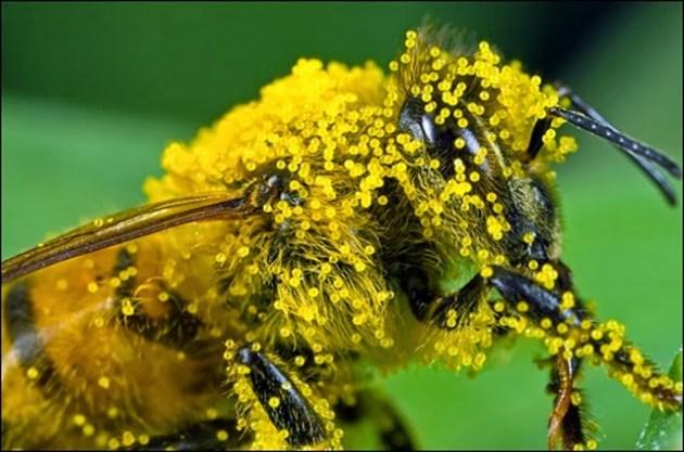 abelha coberta com pólen