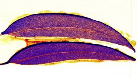 gold-leaf-deposit450[1]