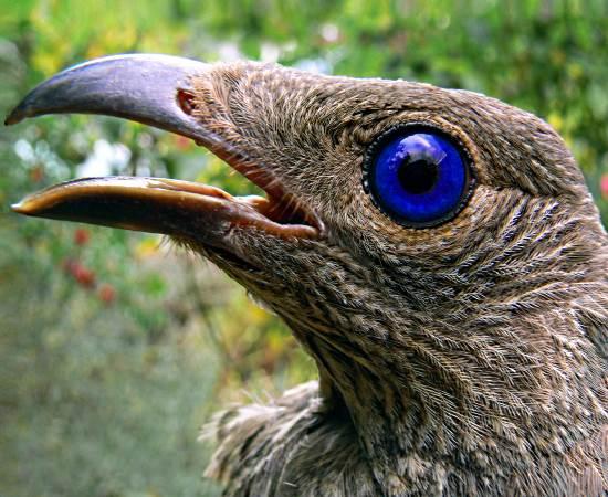 Resultado de imagem para pássaro pavilhão