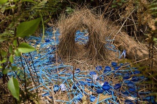 Satin-Bower-Bird-Nest[1]