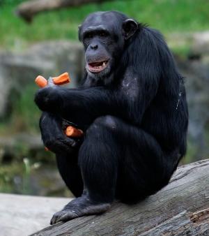 chimpanze-m-20091014[1]