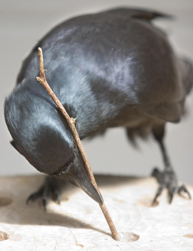 corvo[1]