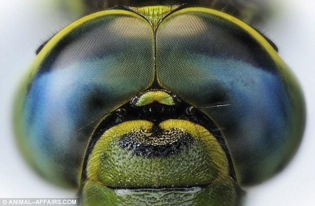 Os olhos da libélula são compostos de centenas de milhares de minúsculos olhos hexagonal, cada um com apenas 0,04 milímetros de diâmetro. As libélulas têm quase 360 graus de visão, inclusive para trás, permitindo-lhes capturar sua presa em vôo.