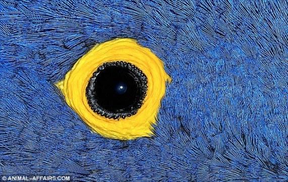 Um círculo de pele amarela coberto com penas azuis. Trata-se de um dos maiores pássaros da América do Sul, o papagaio.
