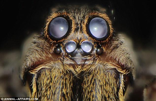 A tarantula tem oito olhos – dois na frente, com quatro pequenos embaixo, e dois menores no lado da cabeça.