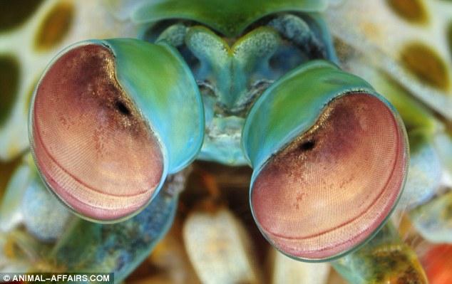 O camarão Mantis tem os olhos mais complexos do reino animal. Os crustáceos têm uma visão notável, sendo capazes de ver até 12 cores primárias e detectar seis tipos diferentes de polarização de luz, bem como ver objetos em três diferentes partes do olho.