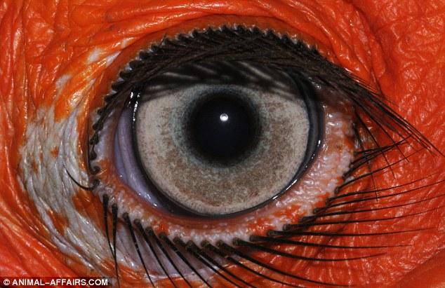 O olho do Bocorus leadbeateri, grande pássaro vindo da África do Sul, é de cerca de 10 milímetros de diâmetro.