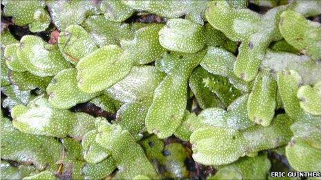 Plantas hepáticas modernas provavelmente são ancestrais comuns de de todas as plantas terrestres