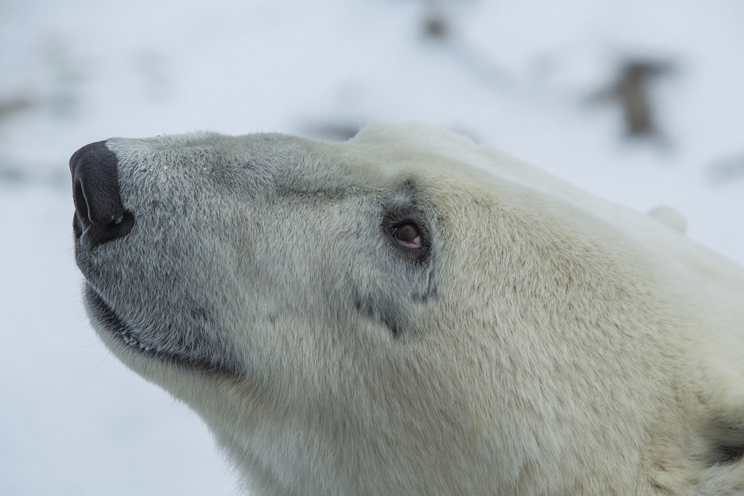 Polar-Bear-close-up[1]