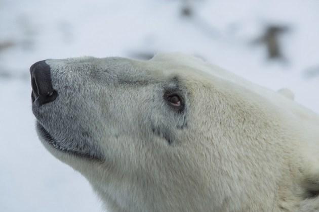 Polar-Bear-close-up[1]