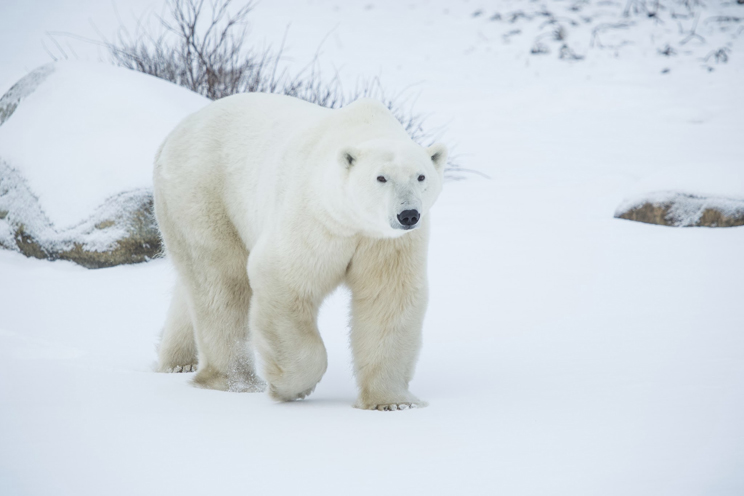 Polar-Bear-in-the-snow2[1]