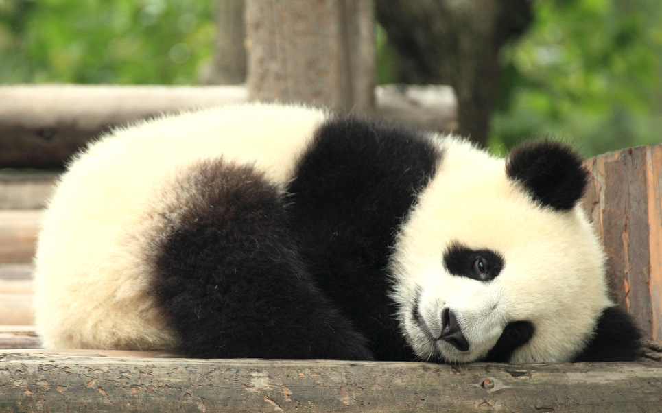 baby-panda-3[1]