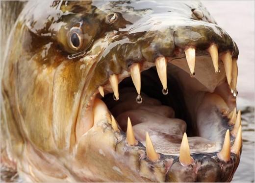 goliath-tiger-fish-teeth[1]