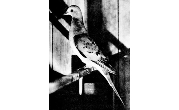 passengerpigeon[1]
