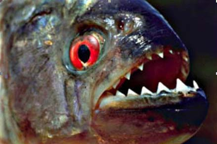 piranha01[1]