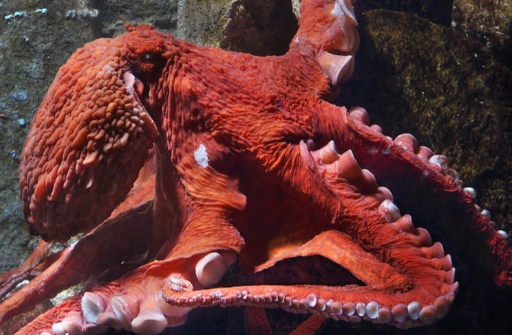 4-tentacled-giant-pacific-octopus[1]