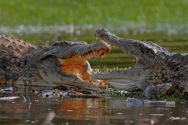 Crocodylus_niloticus_Ankarafantsika_Madagascar_1008_TS4[1]