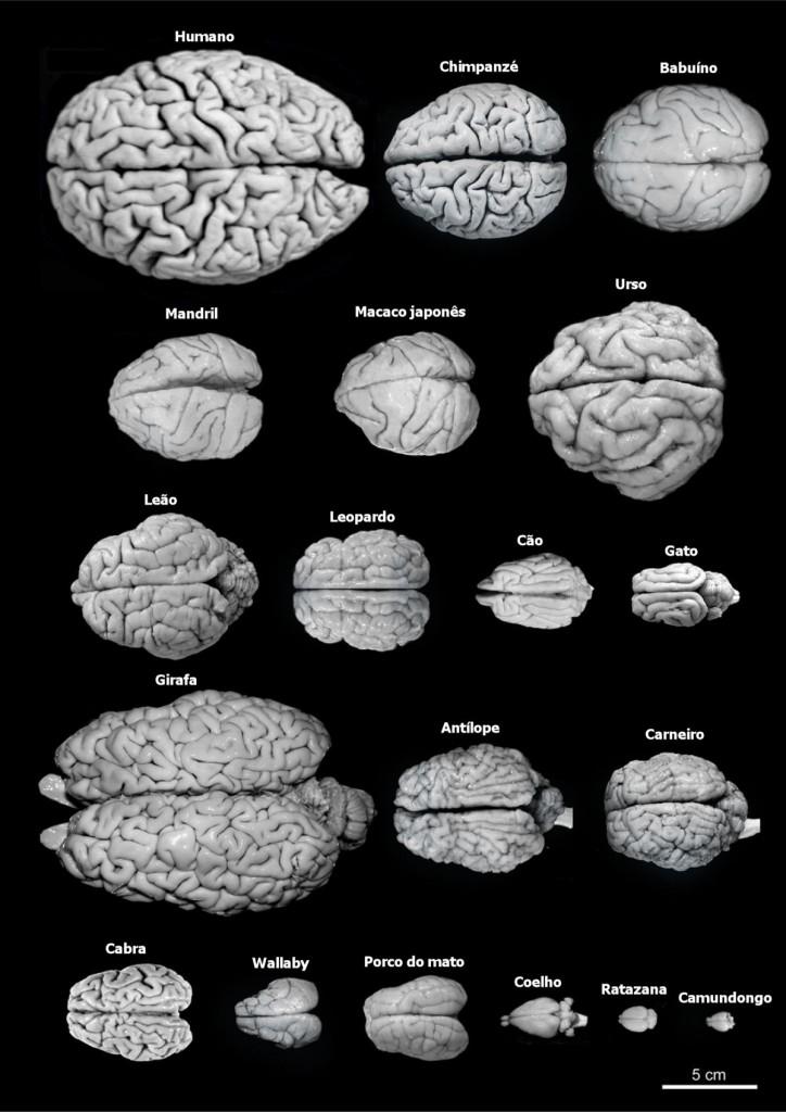 comparacao_cerebro_homem_outras_espoecies_01[1]
