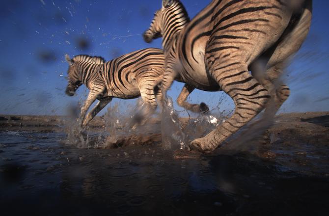 Burchell's zebra (Equus burchellii); Etosha National Park, Namibia