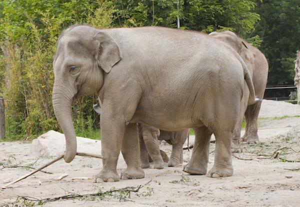 Elefante_asia_tico_Elephas_maximus_Tierpark_Hellabrunn_Mu_nich_Alemania_2012-06-17_DD_06[1]