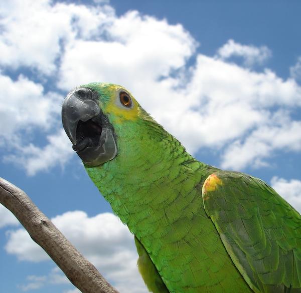 Papagaio.jhu_[1]