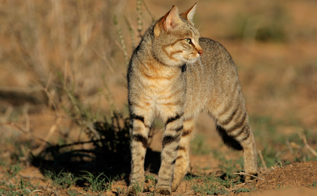 african-wild-cat-istock-thinkstock[1]