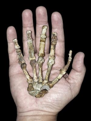 Mão direita de fêmea Australopithecus sediba adulta, comparada à de um humano